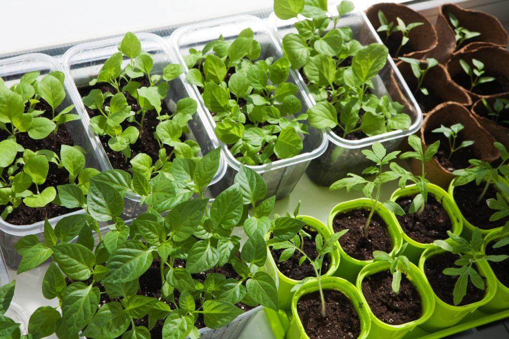 Indoor vegetables and herbs in containers.