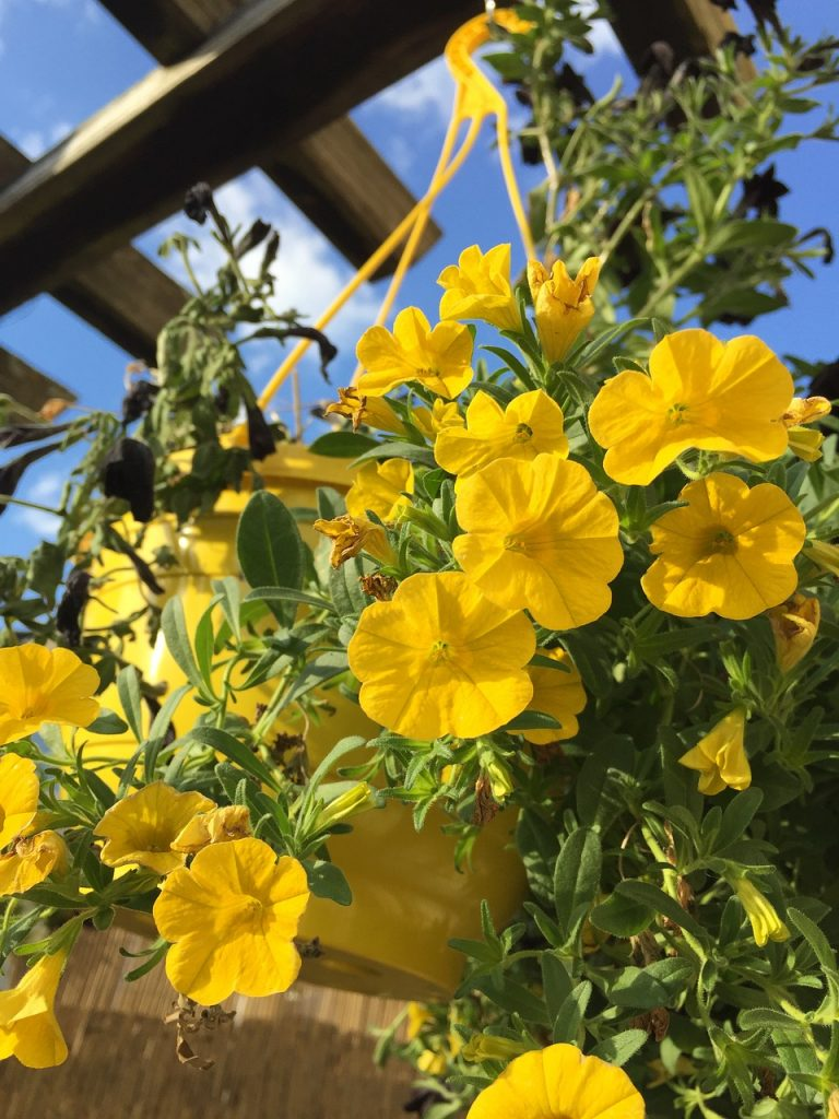 Hanging Baskets of Yellow Flowers