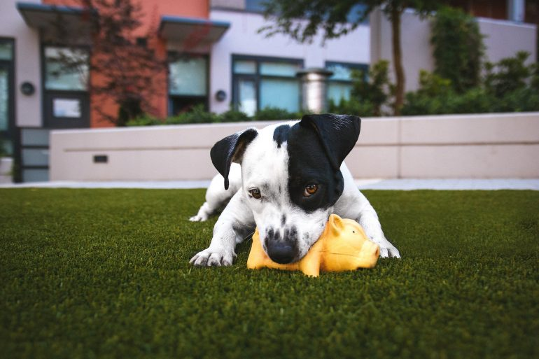 Pitbull with Toy Outside
